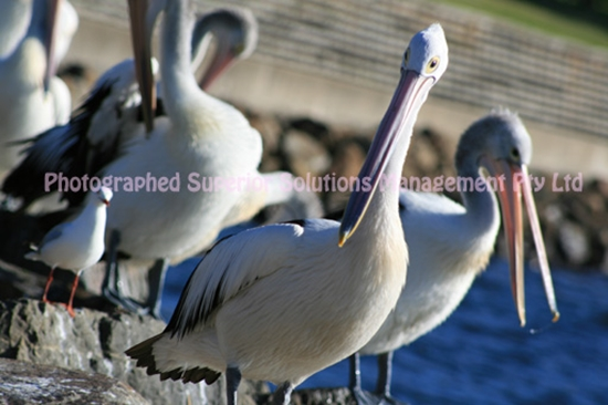 Picture of Pelican Family
