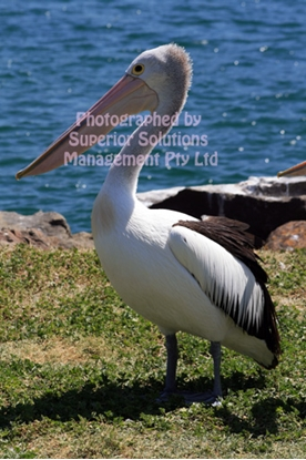 Picture of Pelican